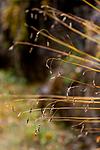 KA_08_1_2121 / Carex capillaris / Hårstarr