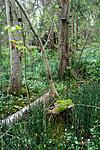 KA_090519_0889 / Equisetum hyemale / Skavgras