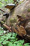 KA_090519_0902 / Spongiporus undosus / Bølgekjuke