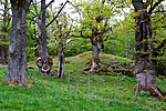 KA_090519_0918 / Quercus robur / Sommereik