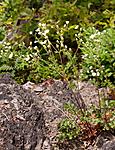 KA_090603_1139 / Drymocallis rupestris / Hvitmure