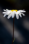 KA_090613_1185 / Leucanthemum vulgare / Prestekrage