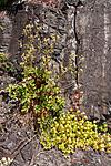 KA_090624_1449 / Drymocallis rupestris / Hvitmure <br /> Phedimus spurius / Gravbergknapp
