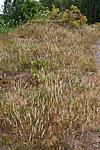 KA_090629_1500 / Phleum phleoides / Smaltimotei