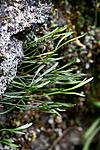 KA_090820_2521 / Asplenium septentrionale / Olavsskjegg