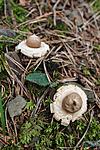 KA_090903_2579 / Geastrum fimbriatum / Brun jordstjerne