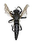 KA_090910_cinctus_female_dorsal / Lasiopogon cinctus / Båndrovflue