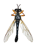 KA_090910_hyalipennis_female_dorsal / Dioctria hyalipennis / Spinkel engrovflue