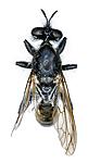 KA_090910_marginata_female_dorsal / Choerades marginata / Stripet rovflue