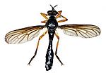 KA_090910_oelandica_male_dorsal / Dioctria oelandica / Svartvinget engrovflue