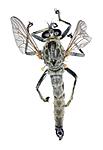 KA_090914_atricapillus_male_dorsal / Tolmerus atricapillus / Svarthårrovflue