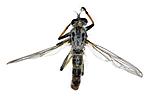 KA_090914_cyanurus_male_dorsal / Neoitamus cyanurus / Svartfotskogrovflue