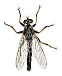 KA_090914_socius_male_dorsal / Neoitamus socius / Gulfotskogrovflue