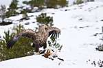 KA_100207_0376 / Haliaeetus albicilla / Havørn <br /> Vulpes vulpes / Rødrev