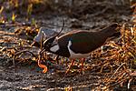 KA_100411_1574 / Vanellus vanellus / Vipe