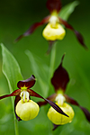 KA_100613_3813 / Cypripedium calceolus / Marisko