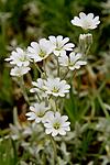 KA_100629_4691 / Cerastium tomentosum / Filtarve