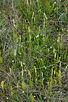 KA_100630_4930 / Ophioglossum vulgatum / Ormetunge