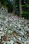 KA_100630_5138 / Cephalanthera rubra / Rød skogfrue