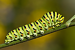 KA_100704_5180 / Papilio machaon / Svalestjert