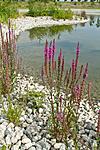 KA_100809_4760 / Lythrum salicaria / Kattehale