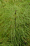 KA_100916_5953 / Equisetum sylvaticum / Skogsnelle