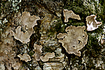 KA_100928_6102 / Aleurocystidiellum disciformis / Eikeskinn