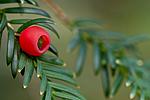 KA_100930_6201 / Taxus baccata / Barlind