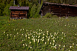 KA_110525_2729 / Dactylorhiza sambucina / Søstermarihand