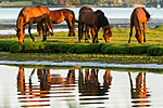 KA_110615_3705 / Equus caballus / Hest