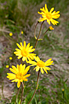 KA_110628_1798 / Arnica montana / Solblom