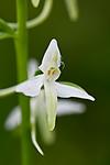 KA_110628_1826 / Platanthera bifolia / Nattfiol