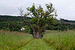 KA_110630_1919 / Quercus robur / Sommereik