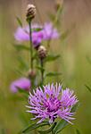 KA_110705_4380 / Centaurea scabiosa / Fagerknoppurt
