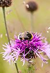 KA_110705_4381 / Centaurea scabiosa / Fagerknoppurt