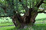 KA_110901_7341 / Quercus robur / Sommereik