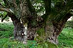 KA_110901_7344 / Quercus robur / Sommereik