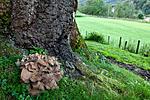 KA_110901_7349 / Grifola frondosa / Korallkjuke <br /> Quercus robur / Sommereik