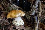 KA_110909_3190 / Cortinarius multiformium / Vrangslørsopp