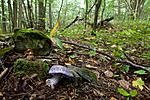KA_110912_3243 / Cortinarius eucaeruleus / Indigoslørsopp <br /> Cortinarius terpsichores