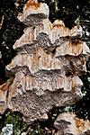 KA_110919_3521 / Pachykytospora tuberculosa / Eikegreinkjuke