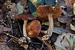 KA_110923_3738 / Cortinarius aurantiomarginatus / Gyllenkantslørsopp