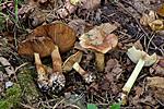 KA_110923_3751 / Cortinarius bulbopodius / Søsterslørsopp