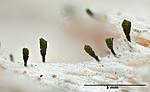 KA_111221_ahlneri_mm / Microcalicium ahlneri / Rotnål