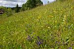 KA_120614_2604 / Platanthera montana / Grov nattfiol