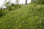KA_120617_2843 / Platanthera montana / Grov nattfiol