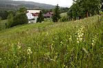 KA_120617_2844 / Platanthera montana / Grov nattfiol