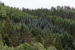 KA_120618_2136 / Picea sitchensis / Sitkagran