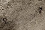 KA_120620_2226 / Riparia riparia / Sandsvale