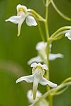 KA_120628_2640 / Platanthera montana / Grov nattfiol